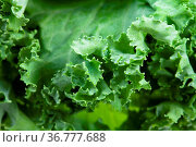 Natural food background - green edges of curly-leaf kale (leaf cabbage... Стоковое фото, фотограф Zoonar.com/Valery Voennyy / easy Fotostock / Фотобанк Лори