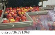 Cleaning and sorting ripe peaches in factory automated line. Стоковое видео, видеограф Яков Филимонов / Фотобанк Лори