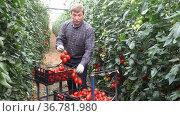 Positive man harvesting ripe red tomatoes in a greenhouse. Стоковое видео, видеограф Яков Филимонов / Фотобанк Лори