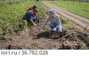 Team of workers harvests potatoes on farm plantation. Стоковое видео, видеограф Яков Филимонов / Фотобанк Лори