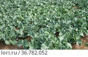 Rows of growing broccoli on field at vegetable farm on a spring sunny day. Стоковое видео, видеограф Яков Филимонов / Фотобанк Лори