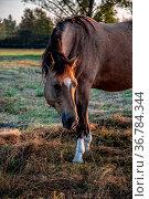 Pferd auf der Koppel nach Sonnenaufgang. Стоковое фото, фотограф Zoonar.com/THOMAS RIESS / age Fotostock / Фотобанк Лори