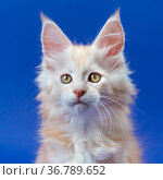 Portrait of furry ginger male kitten of breed Maine Coon Cat looking at camera on blue background. Стоковое фото, фотограф А. А. Пирагис / Фотобанк Лори