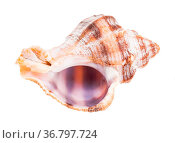 Empty shell of whelk snail isolated on white background. Стоковое фото, фотограф Zoonar.com/Valery Voennyy / easy Fotostock / Фотобанк Лори