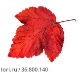 Fallen red leaf of ninebark (physocarpus) shrub isolated on white... Стоковое фото, фотограф Zoonar.com/Valery Voennyy / easy Fotostock / Фотобанк Лори