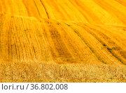 Yellow waves in a field. Стоковое фото, фотограф Zoonar.com/Jager Norbert / easy Fotostock / Фотобанк Лори