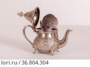 Rat in a teapot close up. Стоковое фото, фотограф Argument / Фотобанк Лори