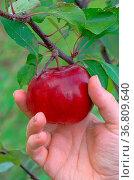 Apfel ernten - apple harvest 04. Стоковое фото, фотограф Zoonar.com/Liane Matrisch / easy Fotostock / Фотобанк Лори