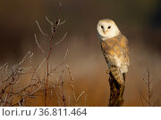Barn owls (Tyto alba) perched on tree stump in early morning light. Northamptonshire, UK, January. Стоковое фото, фотограф Danny Green / Nature Picture Library / Фотобанк Лори