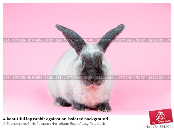 A beautiful lop rabbit against an isolated background. Стоковое фото, фотограф Zoonar.com/Chris Putnam / easy Fotostock / Фотобанк Лори