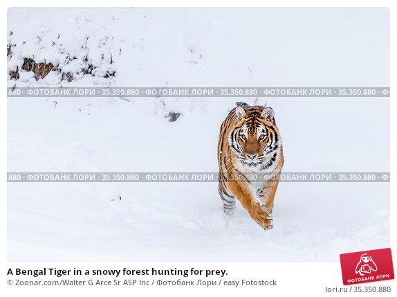 A Bengal Tiger in a snowy forest hunting for prey. Стоковое фото, фотограф Zoonar.com/Walter G Arce Sr ASP Inc / easy Fotostock / Фотобанк Лори