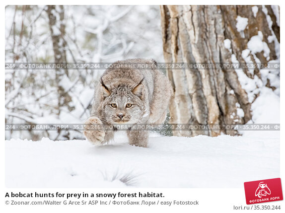 A bobcat hunts for prey in a snowy forest habitat. Стоковое фото, фотограф Zoonar.com/Walter G Arce Sr ASP Inc / easy Fotostock / Фотобанк Лори