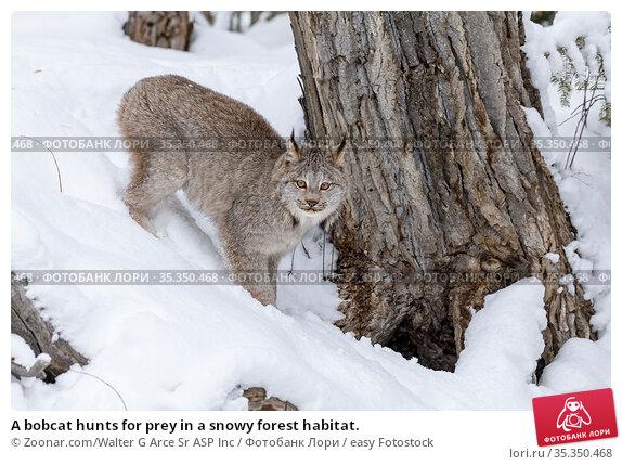 A bobcat hunts for prey in a snowy forest habitat. Стоковое фото, фотограф Zoonar.com/Walter G Arce Sr ASP Inc / easy Fotostock / Фотобанк Лори