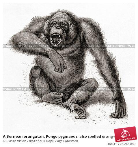 analysis of the orangutan pongo pygmaeus