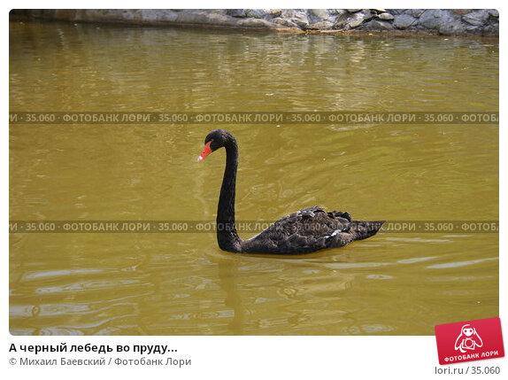 Купить «А черный лебедь во пруду...», фото № 35060, снято 21 апреля 2007 г. (c) Михаил Баевский / Фотобанк Лори