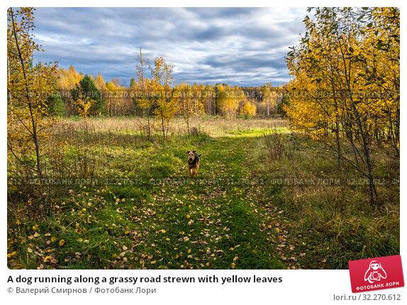 Купить «A dog running along a grassy road strewn with yellow leaves», фото № 32270612, снято 5 октября 2019 г. (c) Валерий Смирнов / Фотобанк Лори