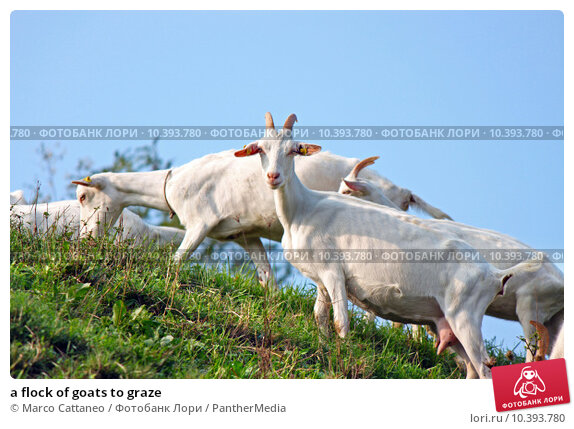 Купить «a flock of goats to graze», фото № 10393780, снято 22 апреля 2019 г. (c) PantherMedia / Фотобанк Лори