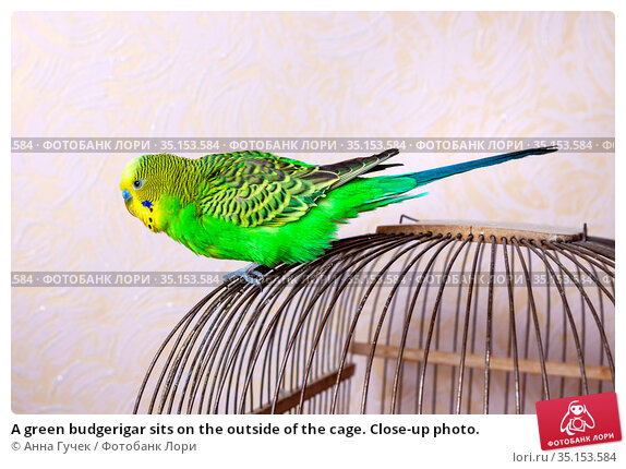 A green budgerigar sits on the outside of the cage. Close-up photo. Стоковое фото, фотограф Анна Гучек / Фотобанк Лори