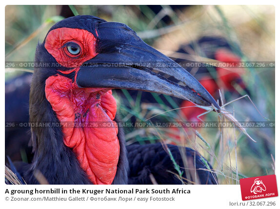 A groung hornbill in the Kruger National Park South Africa. Стоковое фото, фотограф Zoonar.com/Matthieu Gallett / easy Fotostock / Фотобанк Лори