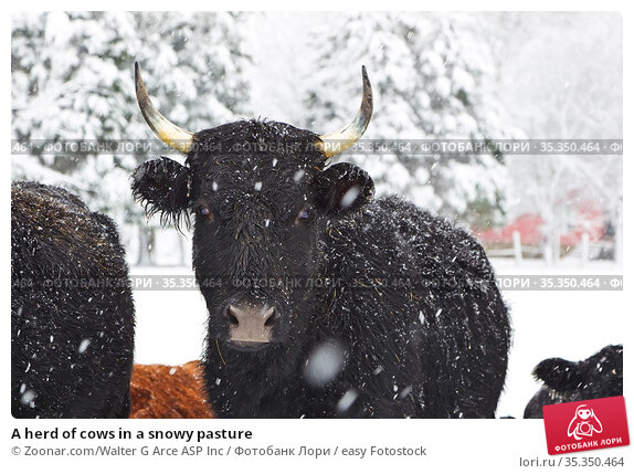 A herd of cows in a snowy pasture. Стоковое фото, фотограф Zoonar.com/Walter G Arce ASP Inc / easy Fotostock / Фотобанк Лори