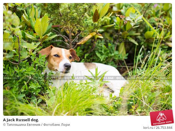 A Jack Russell dog., фото № 26753844, снято 8 августа 2017 г. (c) Типляшина Евгения / Фотобанк Лори