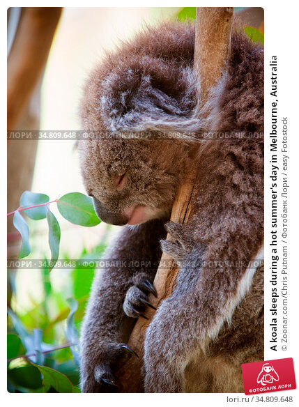 A koala sleeps during a hot summer's day in Melbourne, Australia. Стоковое фото, фотограф Zoonar.com/Chris Putnam / easy Fotostock / Фотобанк Лори