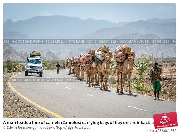 A man leads a line of camels (Camelus) carrying bags of hay on their back travel down road, in Danakil Depression , Ethiopia. (2019 год). Редакционное фото, фотограф Edwin Remsberg / age Fotostock / Фотобанк Лори