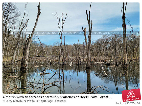 A marsh with dead trees and fallen branches at Deer Grove Forest ... Стоковое фото, фотограф Larry Malvin / age Fotostock / Фотобанк Лори