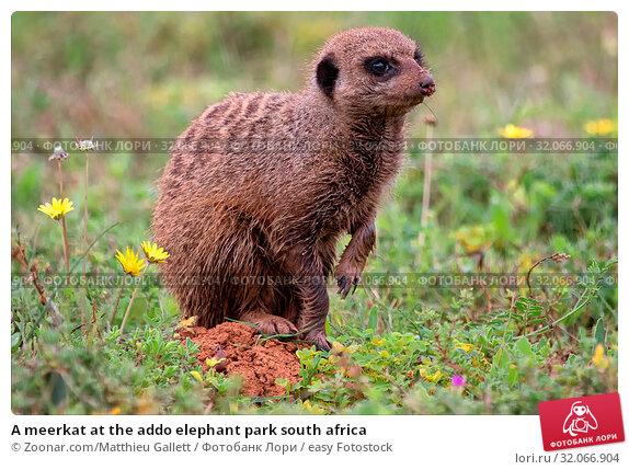 A meerkat at the addo elephant park south africa. Стоковое фото, фотограф Zoonar.com/Matthieu Gallett / easy Fotostock / Фотобанк Лори