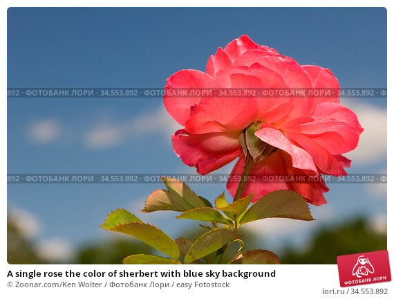 A single rose the color of sherbert with blue sky background. Стоковое фото, фотограф Zoonar.com/Ken Wolter / easy Fotostock / Фотобанк Лори