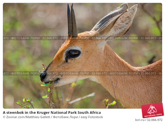 A steenbok in the Kruger National Park South Africa. Стоковое фото, фотограф Zoonar.com/Matthieu Gallett / easy Fotostock / Фотобанк Лори