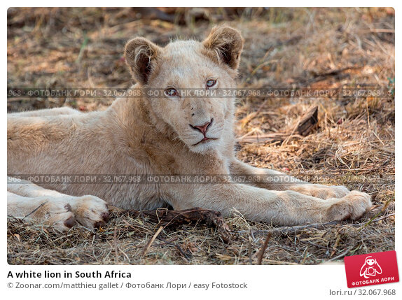A white lion in South Africa. Стоковое фото, фотограф Zoonar.com/matthieu gallet / easy Fotostock / Фотобанк Лори