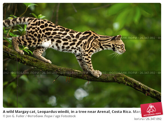Купить «A wild Margay cat, Leopardus wiedii, in a tree near Arenal, Costa Rica. Margays are mostly nocturnal and live in the trees. They are about the size of a large house cat.», фото № 26347092, снято 22 июня 2010 г. (c) age Fotostock / Фотобанк Лори