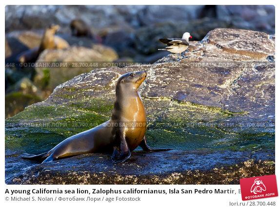 Купить «A young California sea lion, Zalophus californianus, Isla San Pedro Martir, Baja California, Mexico.», фото № 28700448, снято 8 апреля 2016 г. (c) age Fotostock / Фотобанк Лори