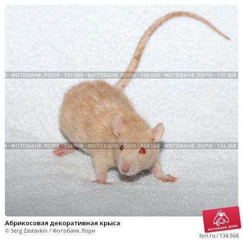 Абрикосовая декоративная крыса, фото № 134568, снято 11 октября 2006 г. (c) Serg Zastavkin / Фотобанк Лори