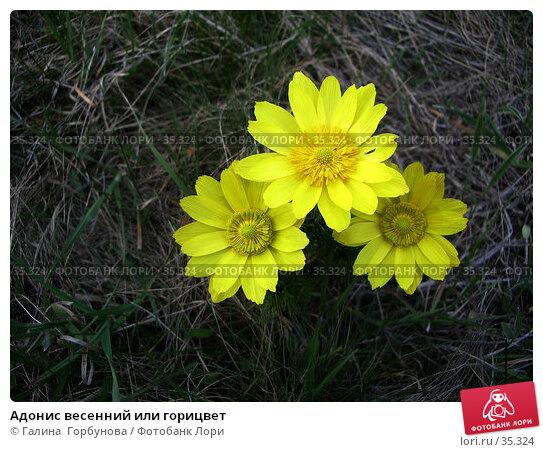 Адонис весенний или горицвет, фото № 35324, снято 19 апреля 2006 г. (c) Галина  Горбунова / Фотобанк Лори