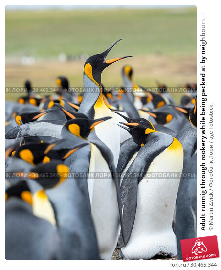 Adult runnig through rookery while being pecked at by neighbours. King Penguin (Aptenodytes patagonicus) on the Falkland Islands in the South Atlantic. South America, Falkland Islands, January. Стоковое фото, фотограф Martin Zwick / age Fotostock / Фотобанк Лори