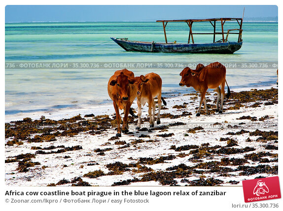 Africa cow coastline boat pirague in the blue lagoon relax of zanzibar. Стоковое фото, фотограф Zoonar.com/lkpro / easy Fotostock / Фотобанк Лори