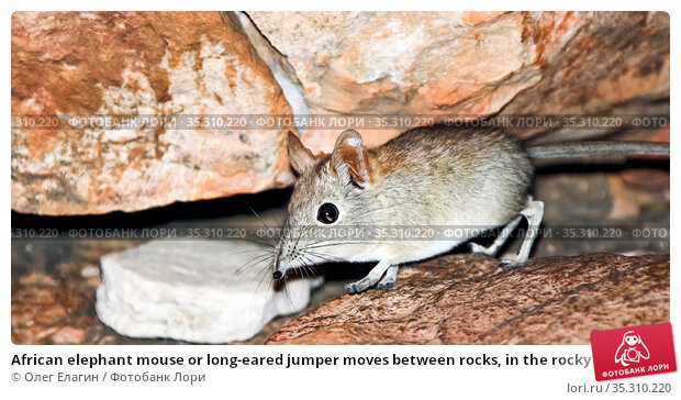 African elephant mouse or long-eared jumper moves between rocks, in the rocky mountains (2010 год). Стоковое фото, фотограф Олег Елагин / Фотобанк Лори