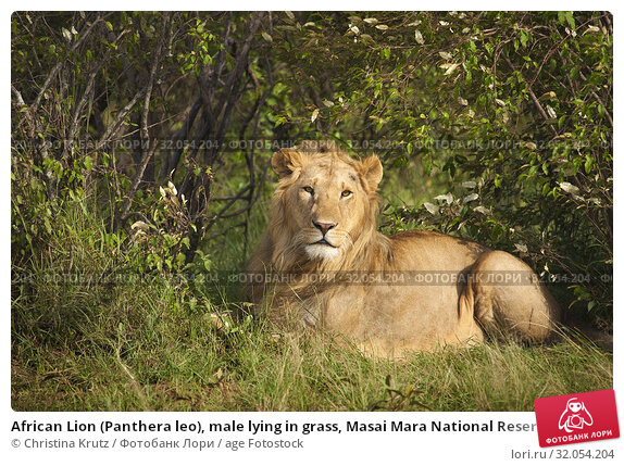 African Lion (Panthera leo), male lying in grass, Masai Mara National Reserve, Kenya. Стоковое фото, фотограф Christina Krutz / age Fotostock / Фотобанк Лори