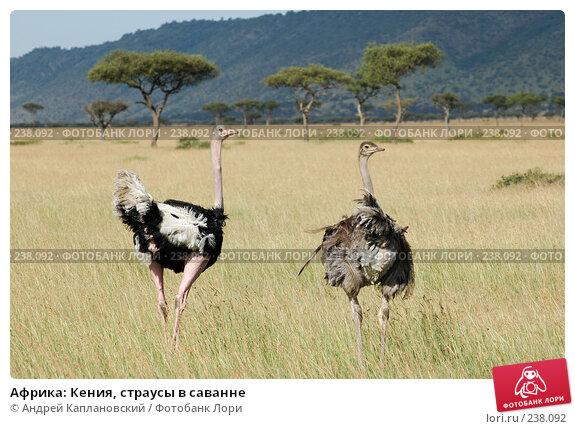 Африка: Кения, страусы в саванне, фото № 238092, снято 15 февраля 2005 г. (c) Андрей Каплановский / Фотобанк Лори