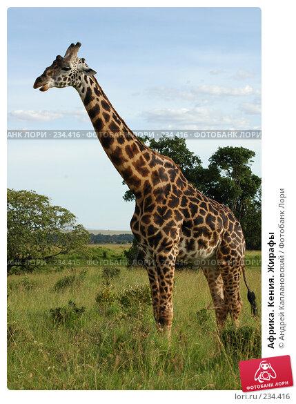 Африка. Кения. Жирафы, фото № 234416, снято 13 февраля 2005 г. (c) Андрей Каплановский / Фотобанк Лори