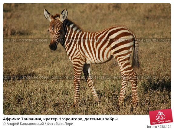 Африка: Танзания, кратер Нгоронгоро, детеныш зебры, фото № 238124, снято 18 февраля 2005 г. (c) Андрей Каплановский / Фотобанк Лори