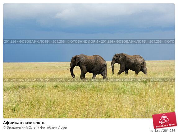 Африканские слоны, фото № 201256, снято 22 января 2008 г. (c) Знаменский Олег / Фотобанк Лори