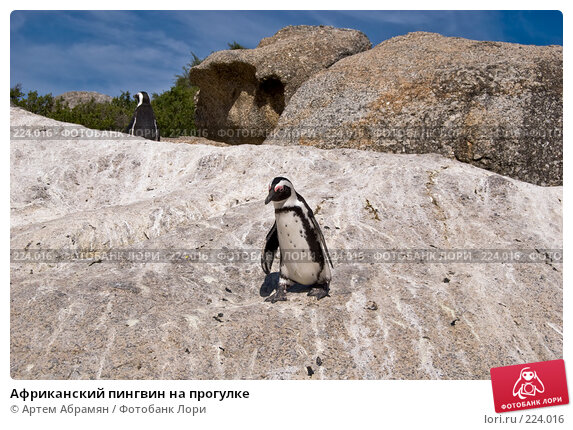 Африканский пингвин на прогулке, фото № 224016, снято 2 февраля 2008 г. (c) Артем Абрамян / Фотобанк Лори