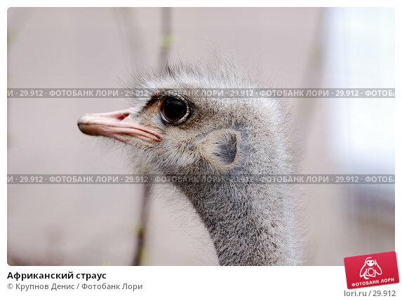 Африканский страус, фото № 29912, снято 4 марта 2007 г. (c) Крупнов Денис / Фотобанк Лори
