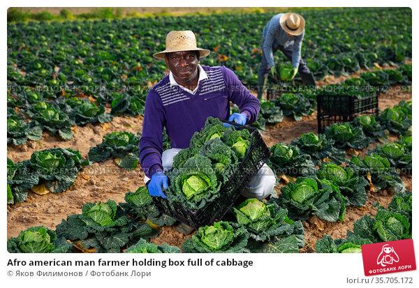 Afro american man farmer holding box full of cabbage. Стоковое фото, фотограф Яков Филимонов / Фотобанк Лори