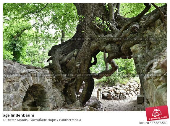 Купить «age lindenbaum», фото № 27837560, снято 21 октября 2018 г. (c) PantherMedia / Фотобанк Лори
