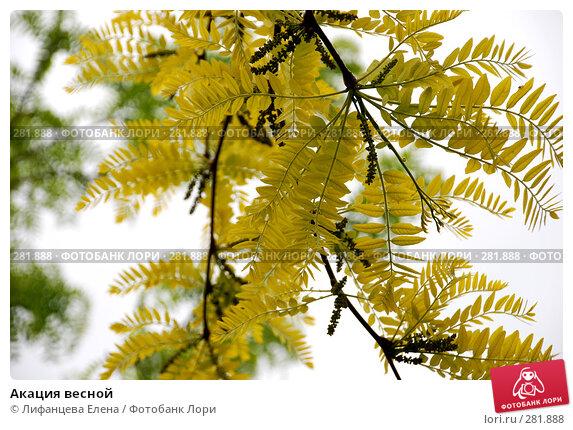 Купить «Акация весной», фото № 281888, снято 4 мая 2008 г. (c) Лифанцева Елена / Фотобанк Лори