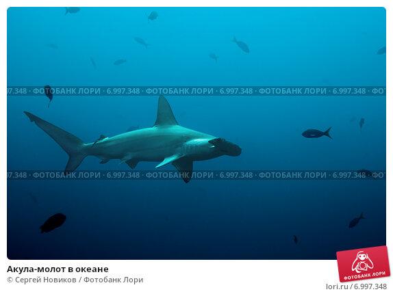 Купить «Акула-молот в океане», фото № 6997348, снято 18 февраля 2014 г. (c) Сергей Новиков / Фотобанк Лори